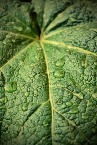 голям, зеленикаво жълто, зелени листа, дъждовен сезон, капки вода, роса, влага, гори, листа, растителна