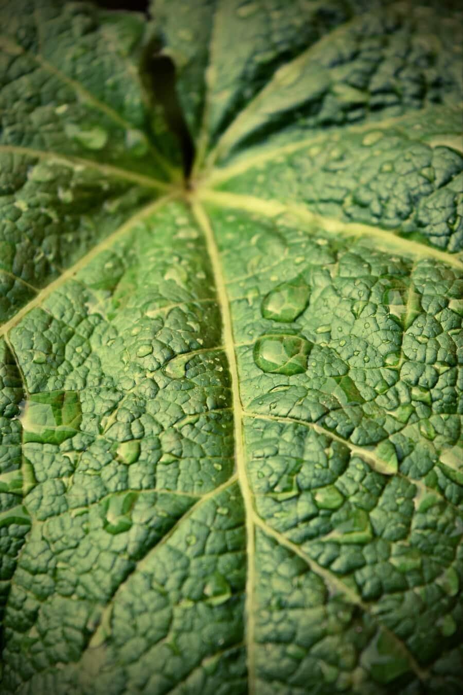 groß, grünlich gelb, grünes Blatt, Regenzeit, Wassertropfen, Tau, Feuchtigkeit, Regenwald, Blatt, Anlage