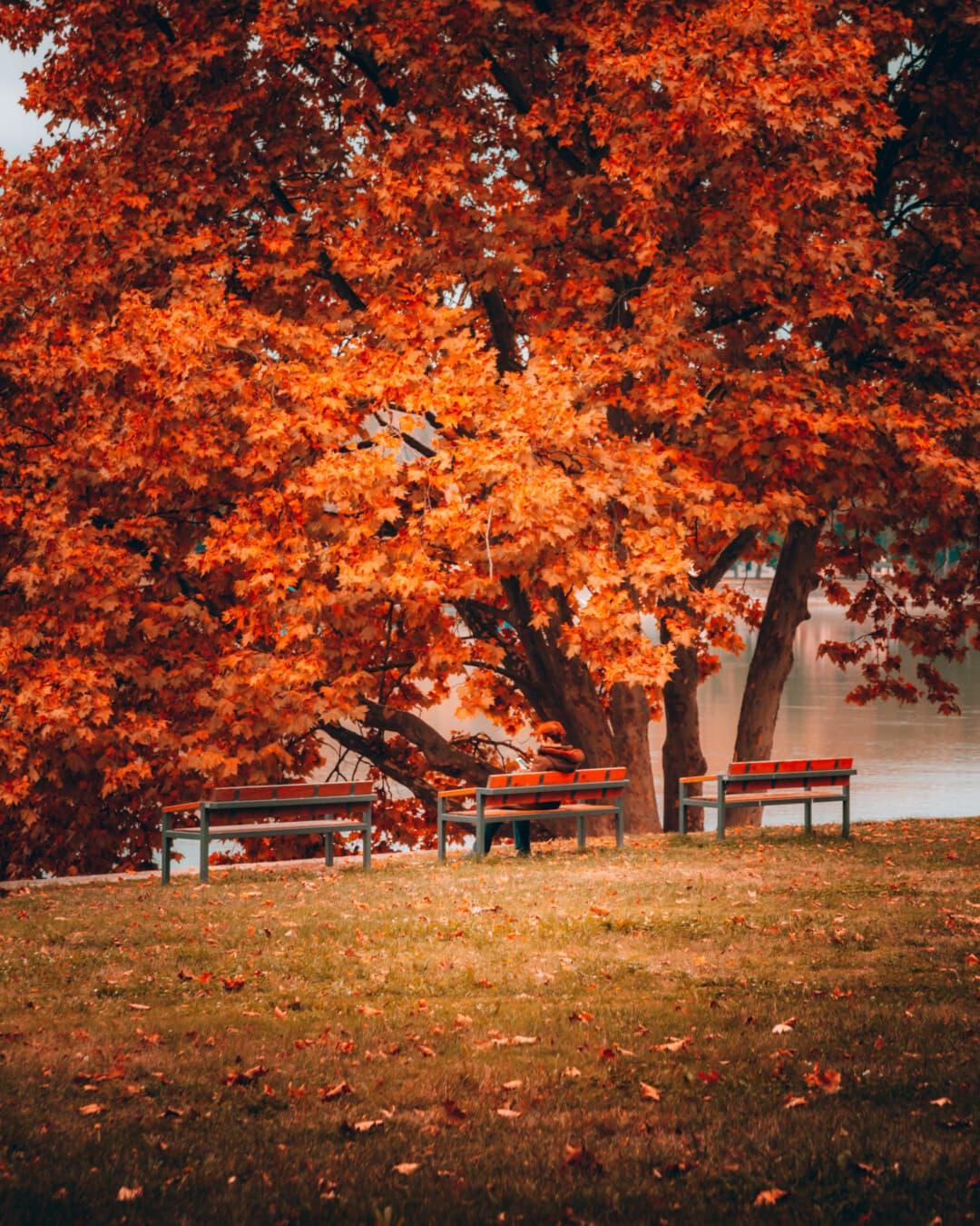automne, parc, berge, pelouse, arbres, banc, assis, personne, érable, meubles