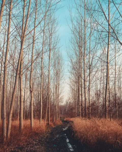 forest, poplar, forest path, forest road, trees, wood, tree, nature, landscape, dawn