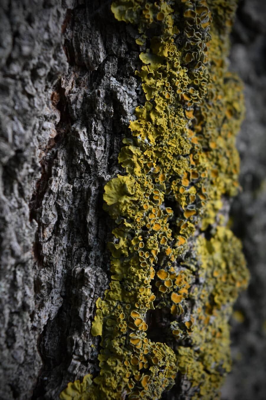 moosig, Flechten, Borke, Holz, Textur, Pilz, Pappel, Struktur, Moos, Natur