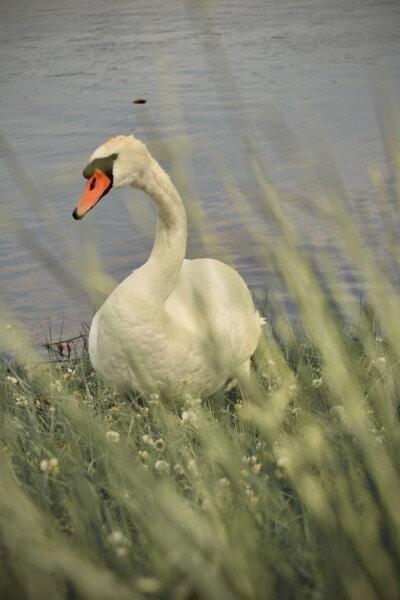 Schwan, Weiden, Gras, Flussufer, Feder, aquatische Vogel, Tierwelt, See, Vogel, Schnabel