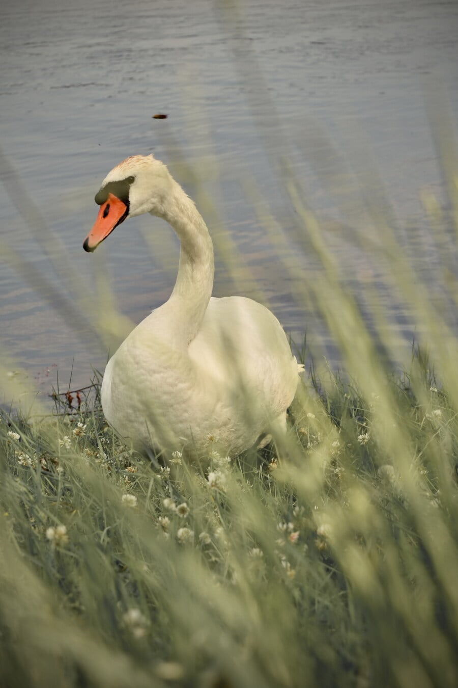 swan, grazing, grass, riverbank, feather, aquatic bird, wildlife, lake, bird, beak