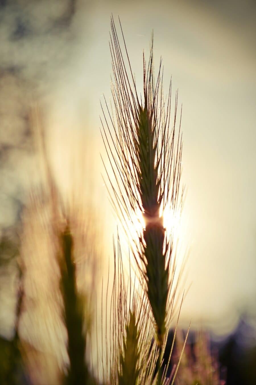 hinterleuchtet, Gras, Sonnenstrahlen, des ländlichen Raums, Korn, Stroh, Roggen, Landwirtschaft, Sonne, Feld