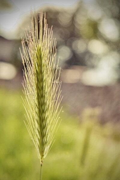 雄しべ, 草, わら, フィールド, 夏, 農村, 収穫, 自然, 太陽, アウトドア