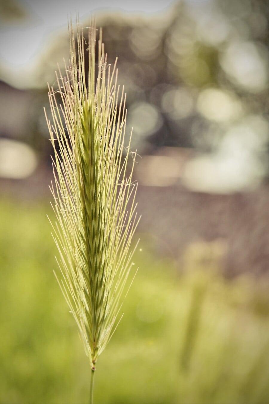 étamine, herbe, paille, domaine, été, rural, harvest, nature, soleil, à l'extérieur