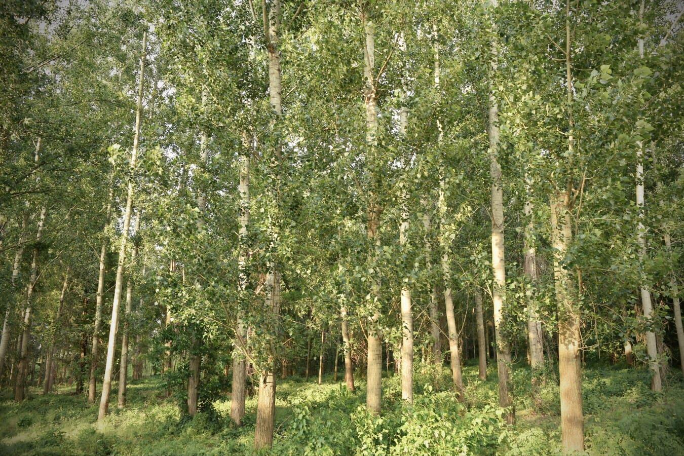 Wald, Pappel, Grün, Bäume, Frühling, Landschaft, Blatt, Struktur, Birke, Holz