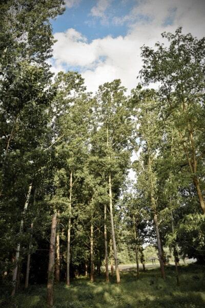 forêt, peuplier, arbre, paysage, plante, bois, nature, feuille, à l'extérieur, environnement