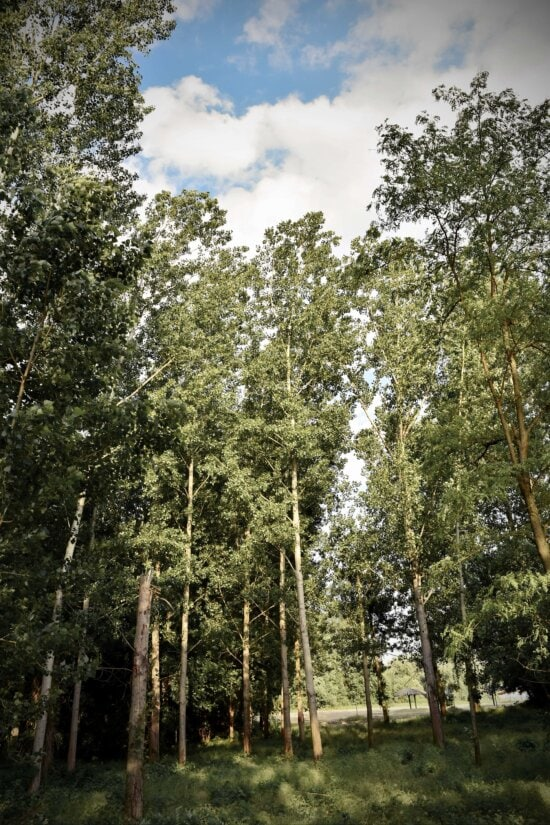 forest, poplar, tree, landscape, plant, wood, nature, leaf, outdoors, environment