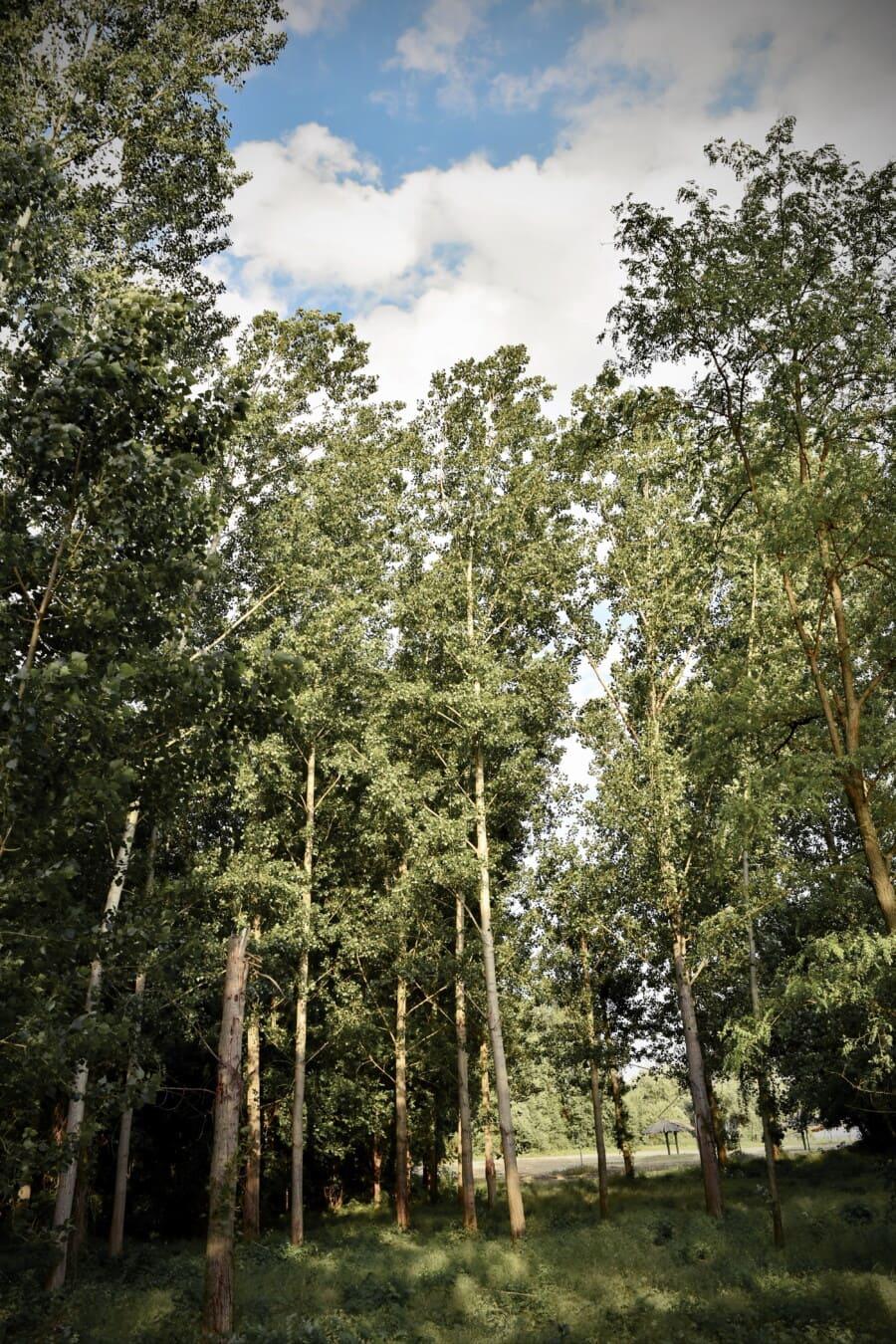лес, Тополь, дерево, пейзаж, завод, дерево, природа, лист, на открытом воздухе, окружающая среда