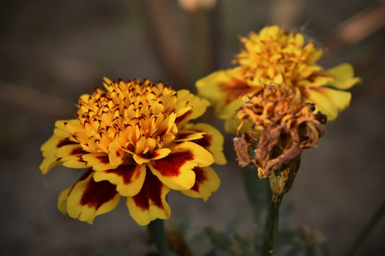 оранжево жълт, Карамфил, цвете, градина, диви цветя, природата, жълто, цвят, билка, растителна
