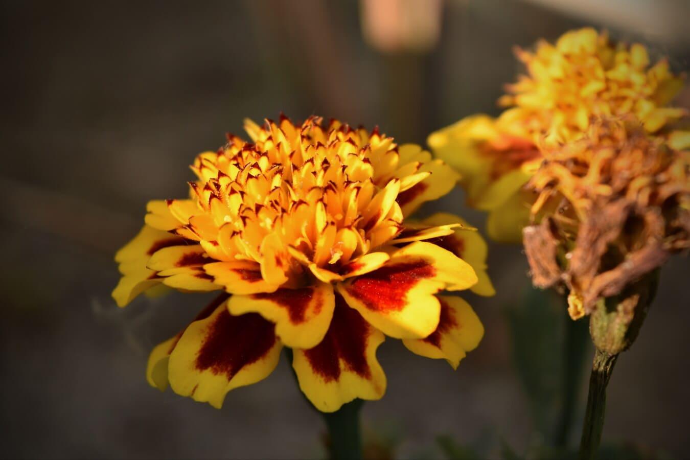 Nelke, Wildblumen, Blütenblätter, gelb, Blume, Kraut, Blütenblatt, Natur, Anlage, Flora