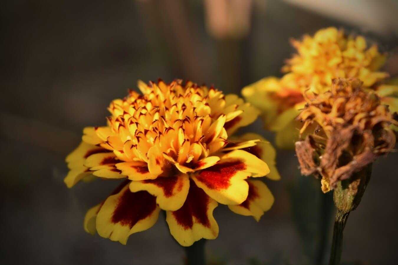 blomster, Nellike, helt tæt, plante, natur, gul, foråret, blomst, kronblad, vilde blomster