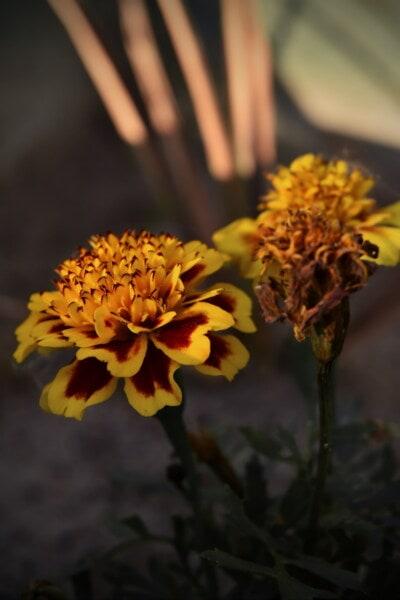 kellanruskea, kukinta, neilikka, kukka puutarha, kukka, kukka, luonto, kesällä, yrtti, keltainen
