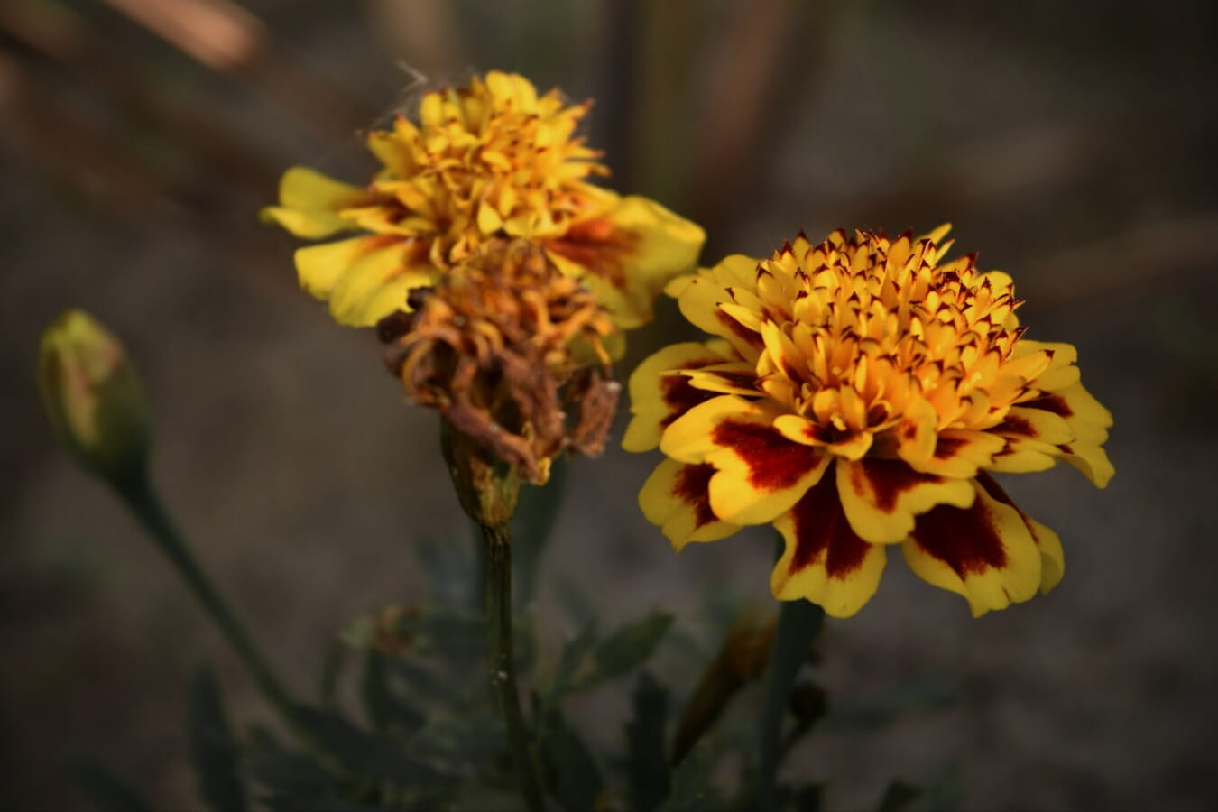 orange yellow, colors, flower, plant, herb, wildflower, nature, yellow, flora, summer