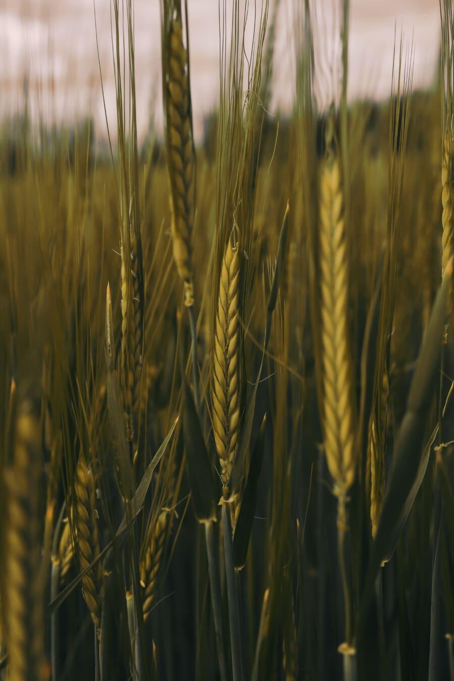 campo de trigo, trigo, centeio, perto, folhas verdes, agricultura, cevada, verão, grão, rural
