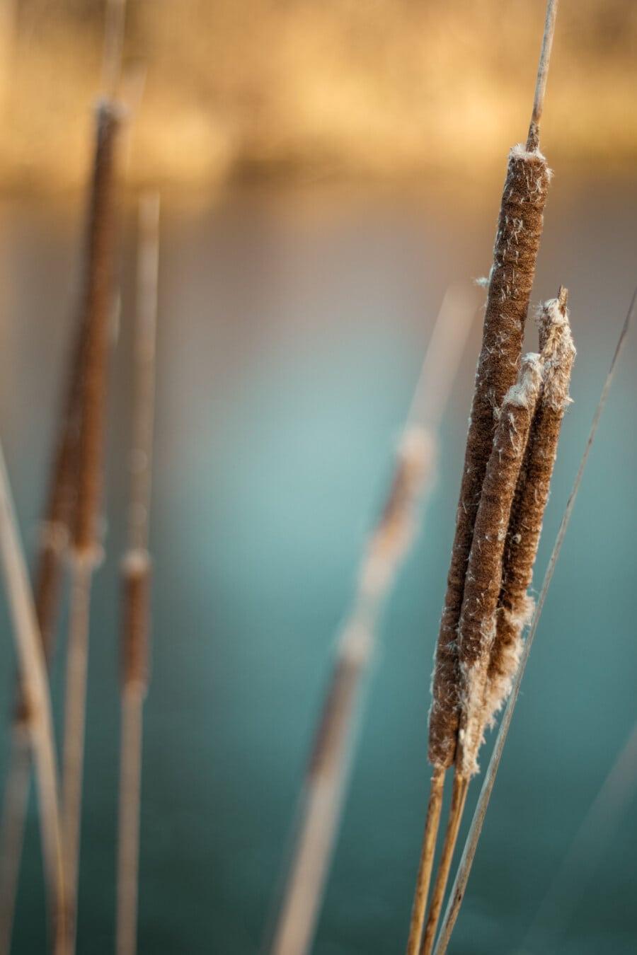 saison sèche, l'été, plante aquatique, brun, marais, fermer, marais, plante, domaine, culture