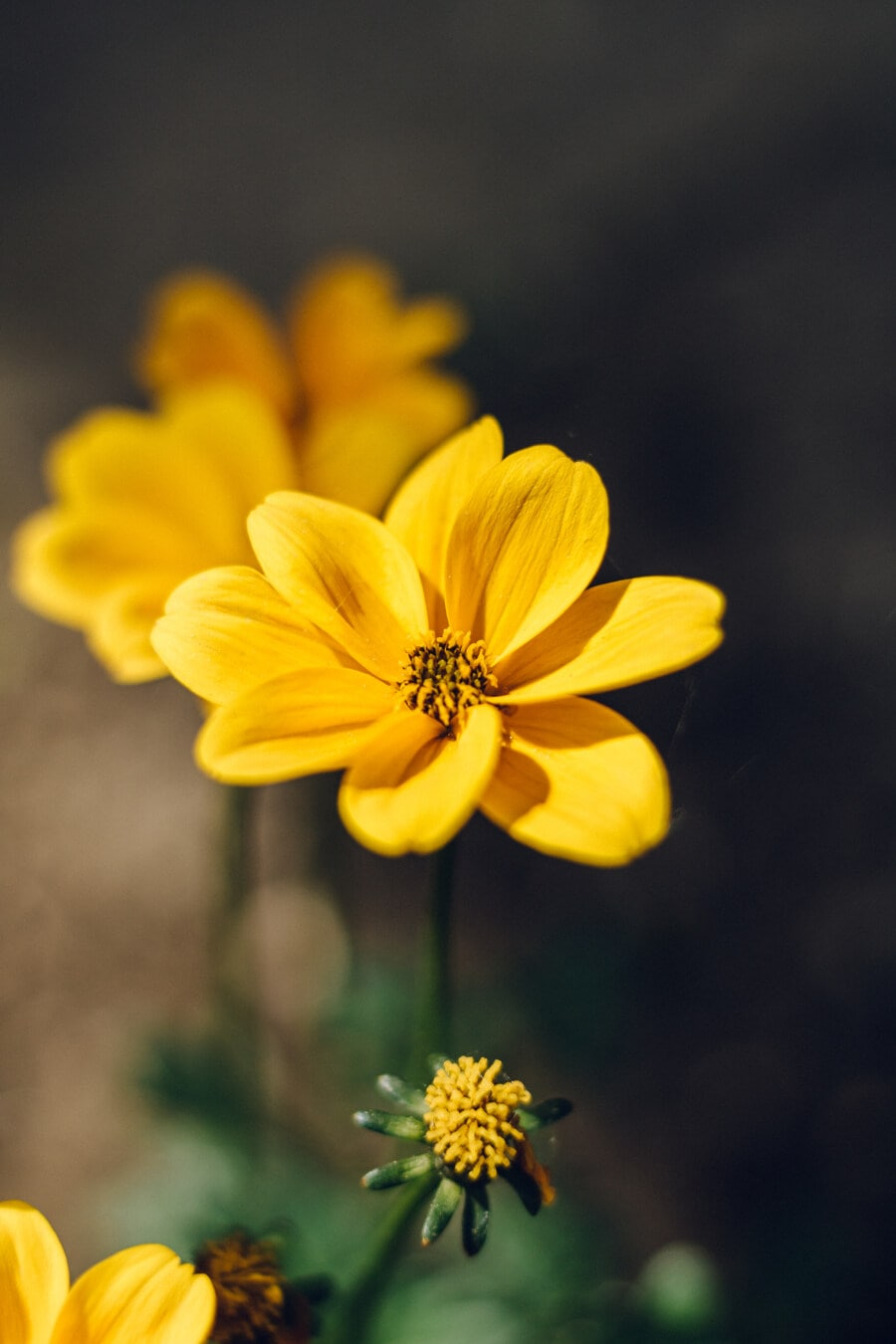 fleur, printemps, jardin, Jaune, plante, fleur, herbe, pétale, fleurs, été