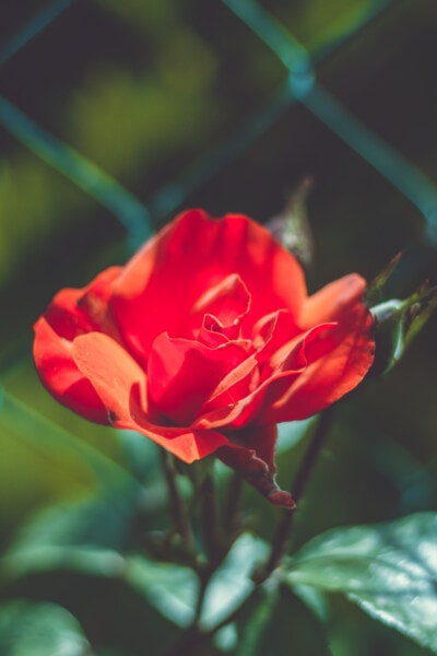 roses, rose, garden, bud, pink, shrub, bloom, flower, flora, petal