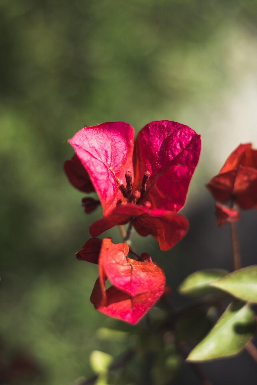 pollen, pistil, vibrant, rougeâtre, pétales, fleur, jardin fleuri, biologie, brouiller, botanique