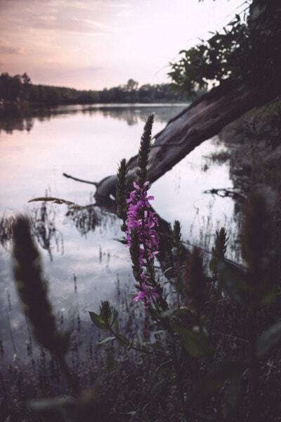 vadvirág, lilás, mocsár, fa, erdő, táj, park, folyó, fák, szabadban