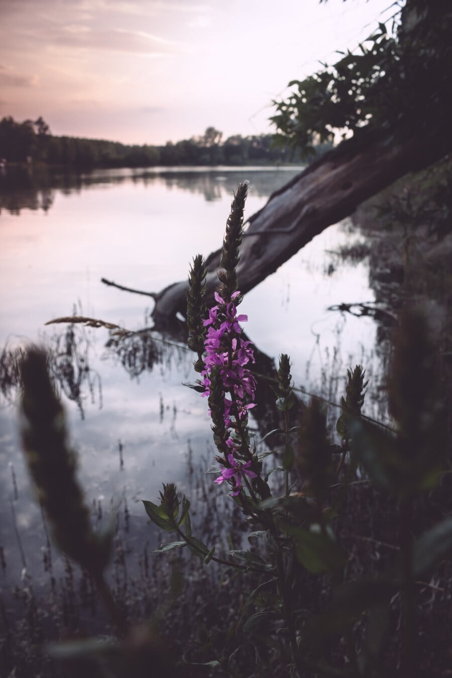 Wildblumen, violett, Sumpf, Struktur, Wald, Landschaft, Park, Fluss, Bäume, im freien