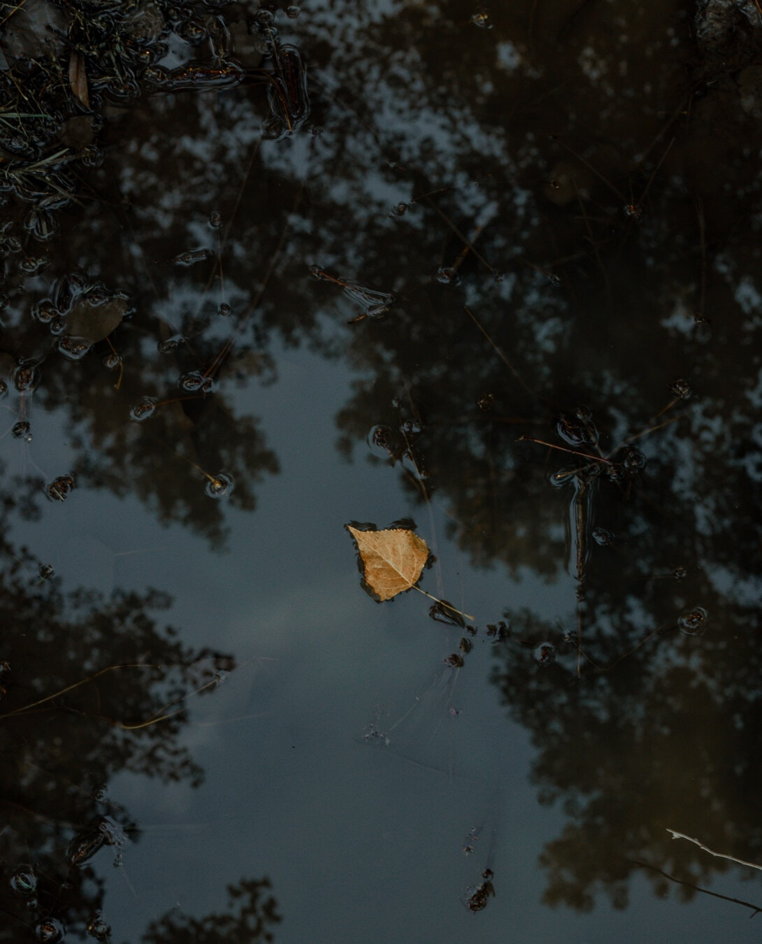calm, reflection, water, floating, yellowish brown, leaf, landscape, nature, dark, dawn
