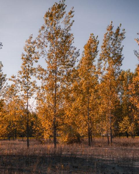 peuplier, arbres, forêt, automne, paysage, bouleau, arbre, saison, Jaune, parc