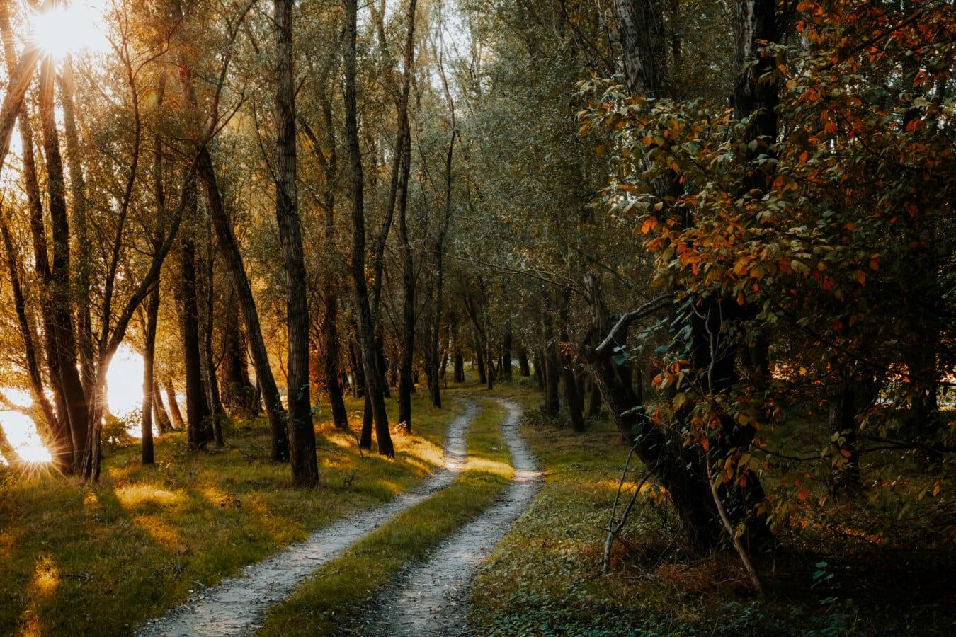 erdei út, napsütés, erdő, beszűrődik, fák, táj, fa, park, ősz, szezon