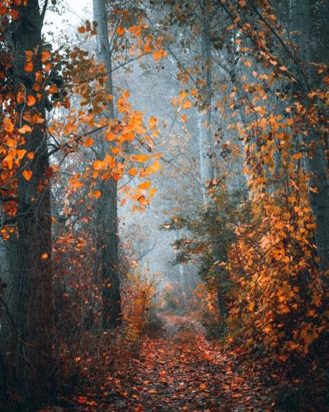 brumeux, matin, chemin forestier, automne, sentier de la forêt, arbre, forêt, Jaune, feuilles, feuillage