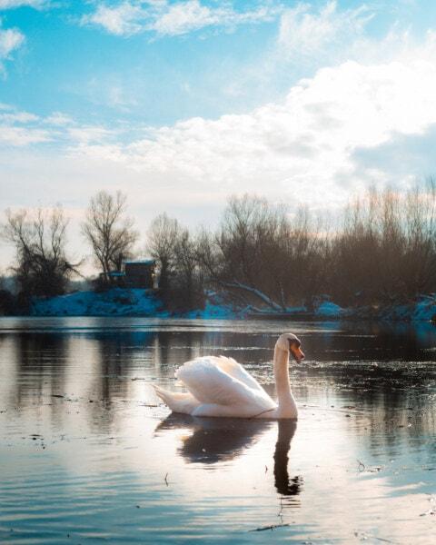 swan, winter, snow, cold water, frost, aquatic bird, lake, water, landscape, shore