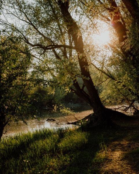 csatorna, mocsár, tavaszi idő, Napfény, napos, fák, háttérvilágítással, lombozat, ágak, fa