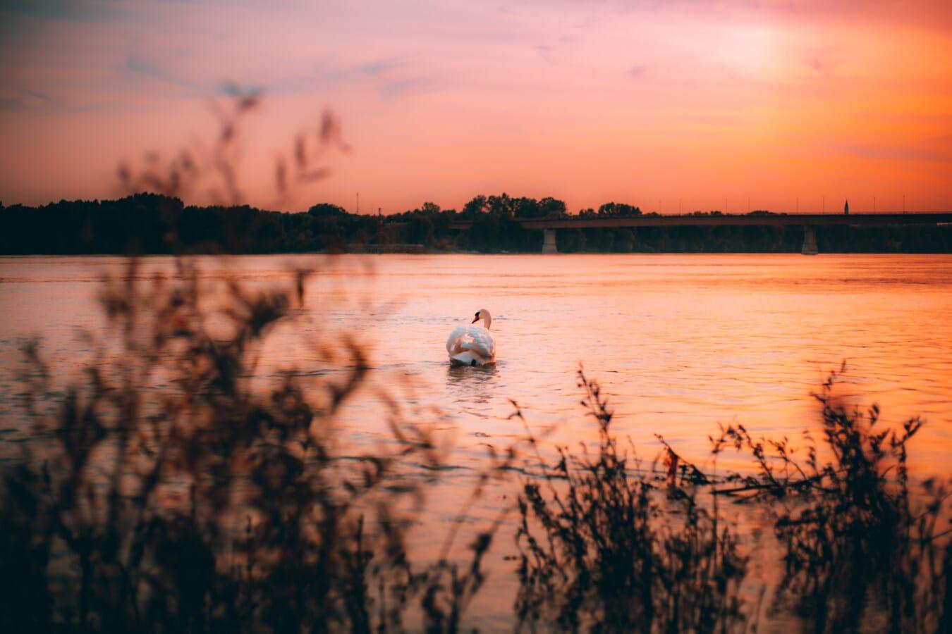 orange yellow, sunset, majestic, bird, swan, shadow, silhouette, sun, water, lake