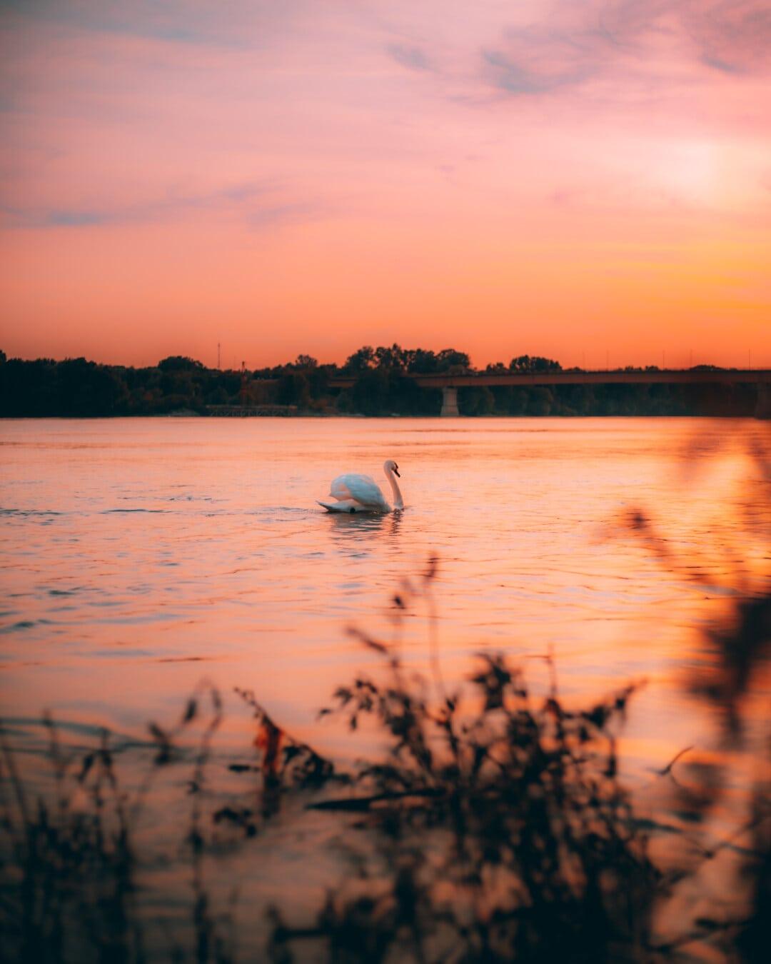 Захід сонця, Лебідь, благодать, птах, берег річки, плавання, Річка, води, сонце, озеро
