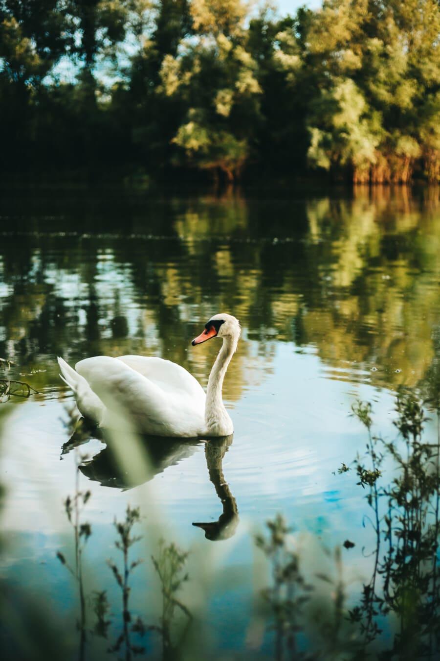 swan, aquatic bird, wading bird, water, wildlife, beak, lake, wild, birds, pelican