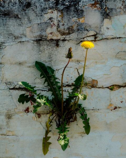 αγριολούλουδο, πικραλίδα, τοίχου, τούβλα, βιότοπος, επιβίωση, βότανο, grunge, λουλούδι, φύση