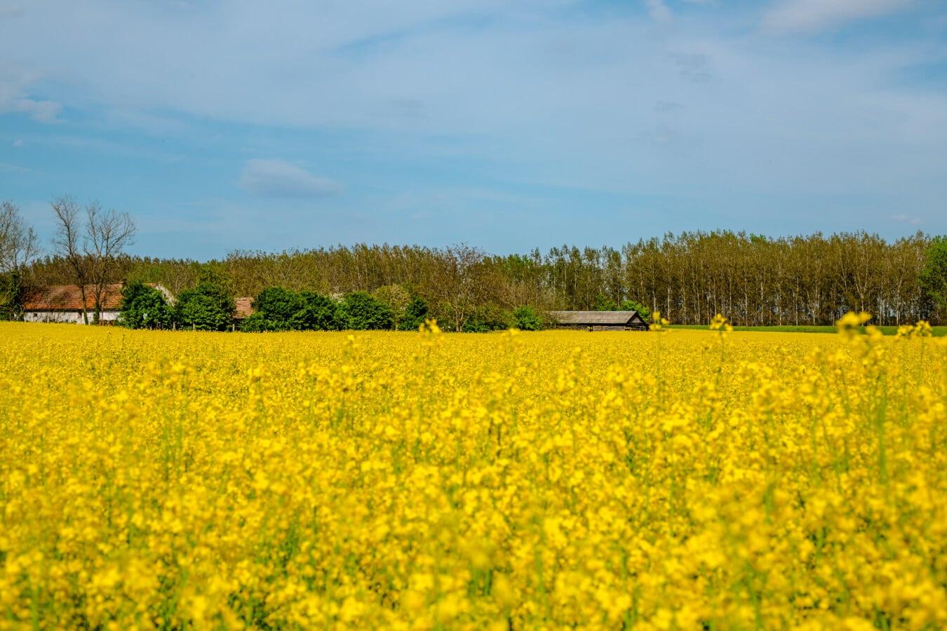 rypsi, kesäkaudella, kenttä, maaseudun, maisema, maatalous, maatila, luonto, kesällä, ulkona