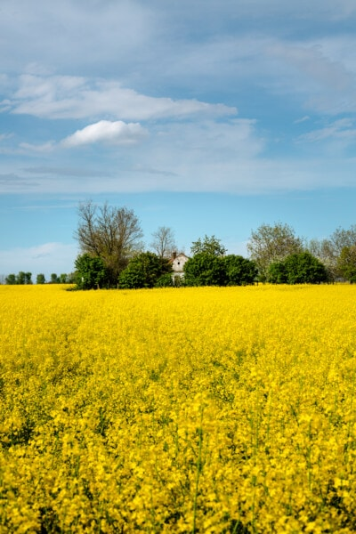 rapeseed, rural, agriculture, meadow, landscape, field, fruit, nature, countryside, summer
