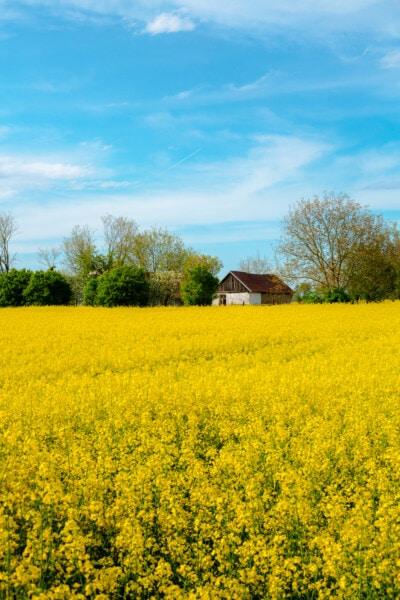 Слънчев, селскостопански, поле, рапица, селски, семена, селско стопанство, пейзаж, природата, крайградски
