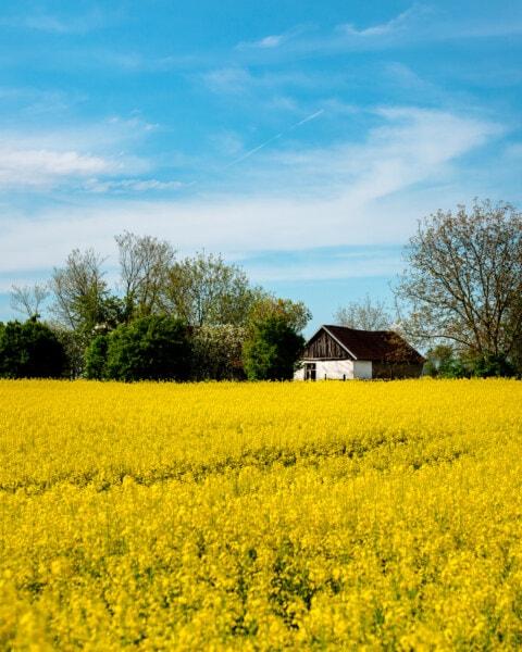 landbrugsjord, bondehus, gamle, Village, rapsolie, landbrug, felt, landdistrikter, landskab, natur