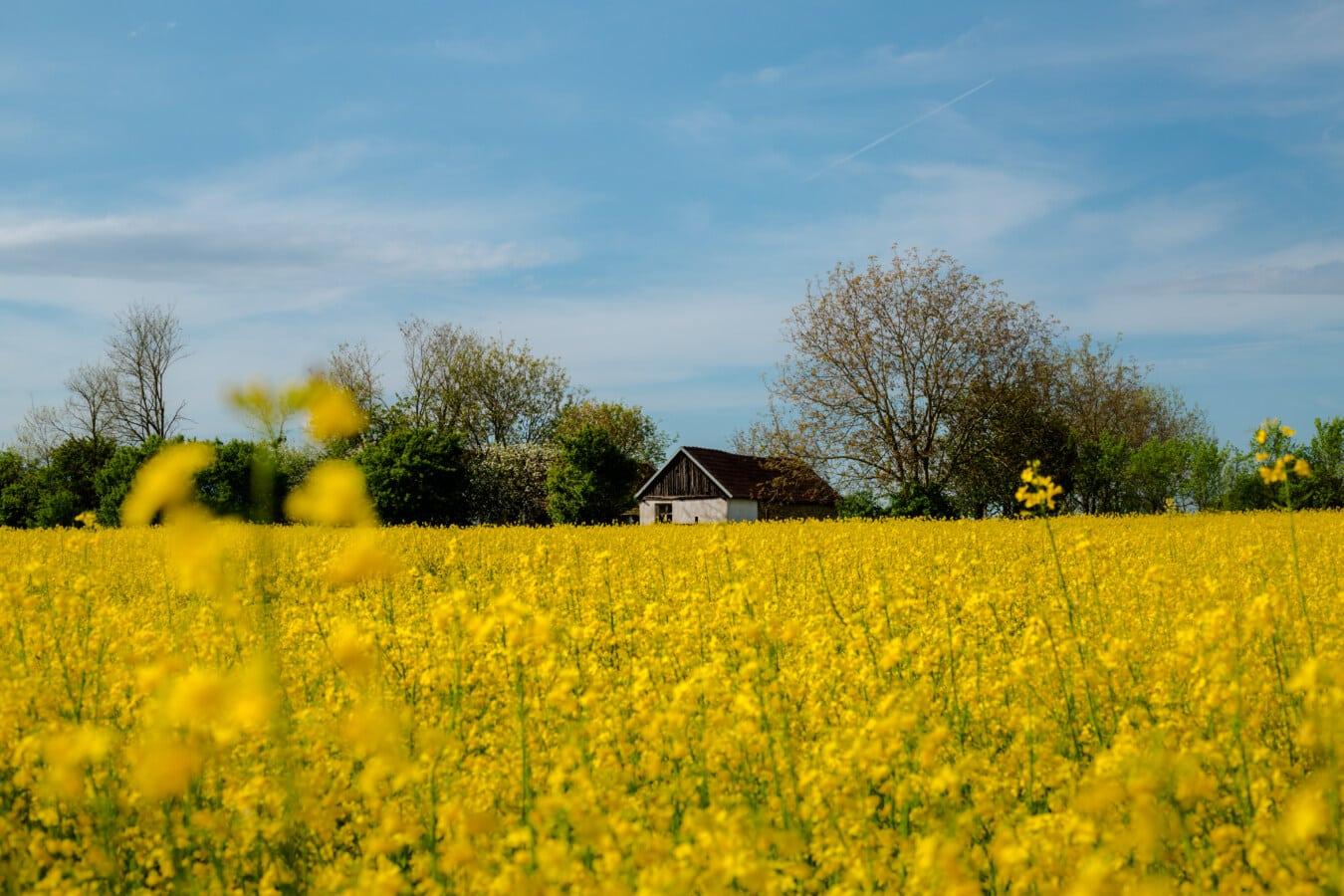 Raps, landwirtschaftlich, Feld, des ländlichen Raums, Landwirtschaft, Samen, Landschaft, Natur, Landschaft, Sommer