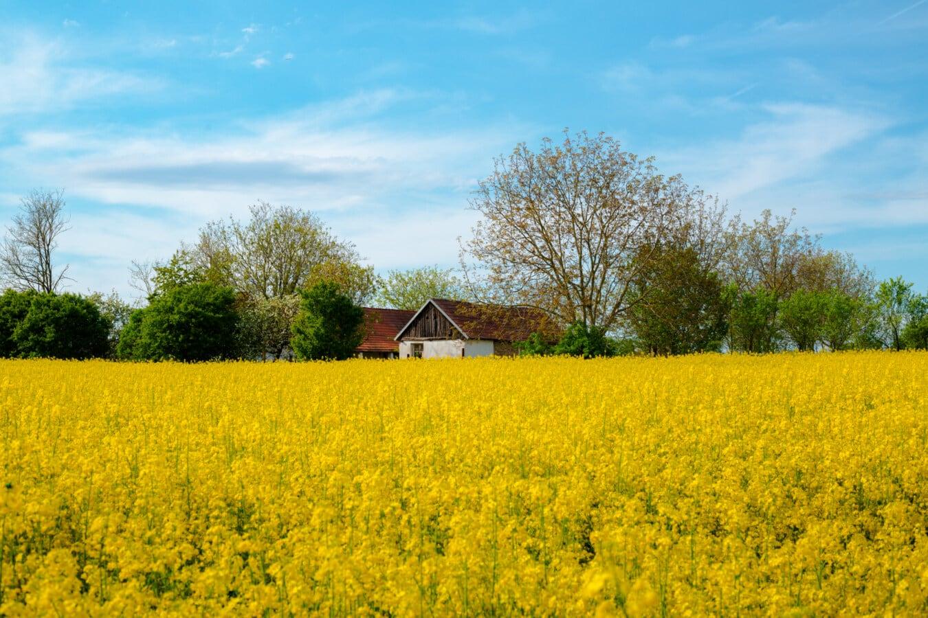 Dorf, Ackerland, Bauernhaus, Sommersaison, Raps, idyllisch, Landwirtschaft, Landschaft, Samen, Wiese
