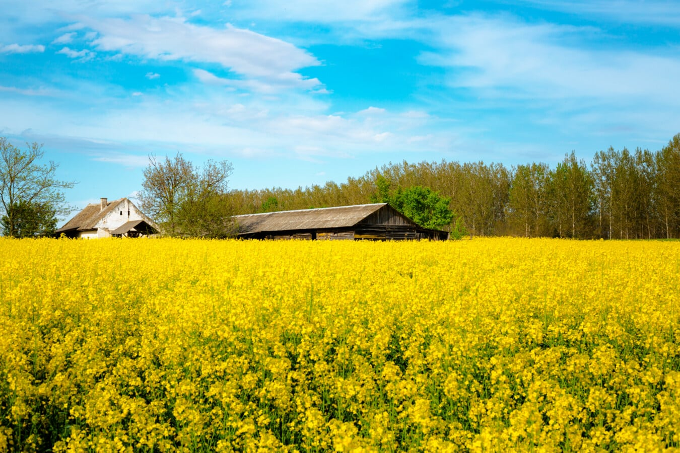 les terres agricoles, ferme, ferme, hangar, beau temps, colza, Agriculture, domaine, nature, semences