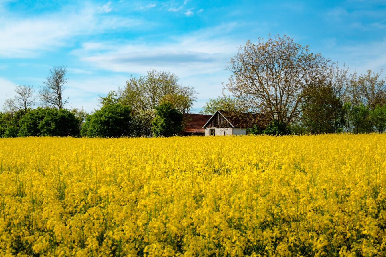 zemědělská půda, zemědělská usedlost, řepky, krajina, zemědělství, venkova, pole, semeno, farma, příroda
