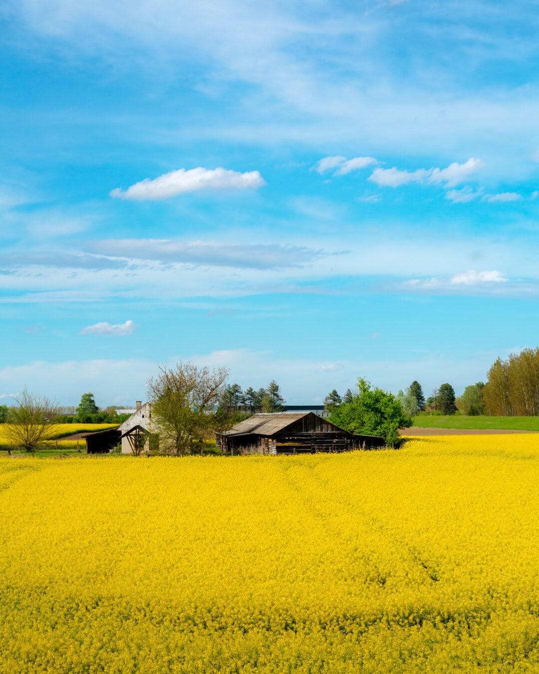 kenttä, maatalouden, rypsi, vanha, lato, rappeutuminen, pilata, suojaan, siemenet, maisema