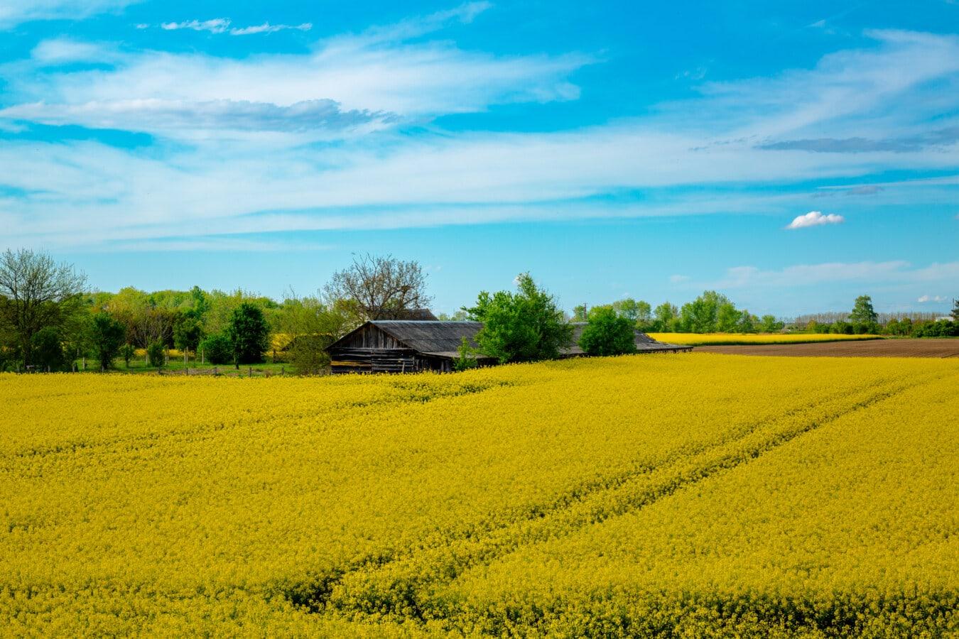 Landschaft, idyllisch, Ackerland, Raps, Bauernhaus, Bauernhof, Sommersaison, sonnig, Samen, Feld