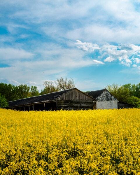Ackerland, Bauernhaus, Schuppen, Raps, Landwirtschaft, des ländlichen Raums, Samen, Natur, Feld, Landschaft