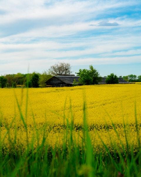 agricultural, rapeseed, field, farmhouse, farm, farmland, rural, agriculture, seed, landscape