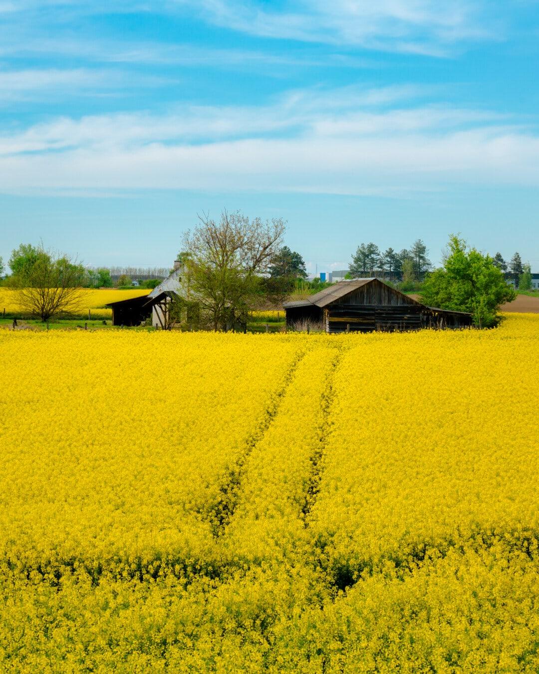 field, path, farmland, farmhouse, farm, rapeseed, agriculture, nature, landscape, rural