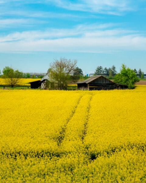 Feld, Pfad, Ackerland, Bauernhaus, Bauernhof, Raps, Landwirtschaft, Natur, Landschaft, des ländlichen Raums